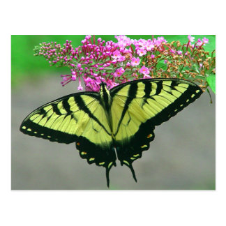 Beautiful Tiger Swallowtail Butterfly Postcard 6