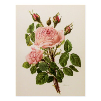 Beautiful Vintage Rose Floral Botanical Fine Art Postcard
