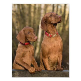 Beautiful Vizsla Sporting Dogs Photo Print