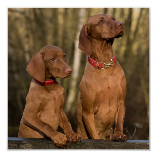 Beautiful Vizsla Sporting Dogs Poster