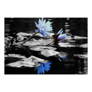 Beautiful Water Lilies Poster