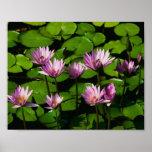Beautiful Water Lillies Art Print