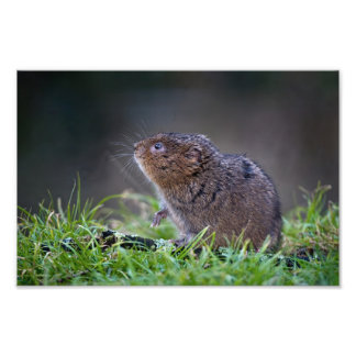 "Beautiful Water vole 12"" x 8"" Print"