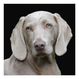 Beautiful Weimaraner Hunting Dog Photo Print