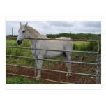Beautiful white horse photograph post cards
