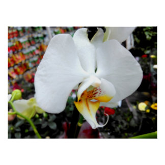 Beautiful White Phalaenopsis Orchid Poster