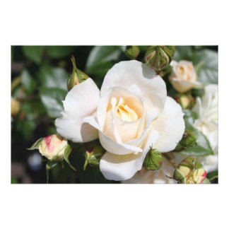 Beautiful white rose flower. floral photography photo