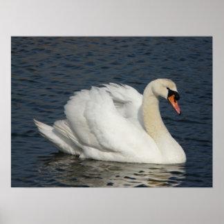 Beautiful white swan in water print