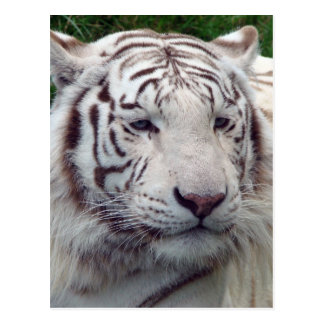 Beautiful White Tiger Post Cards