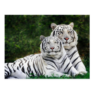 Beautiful White Tigers Postcard