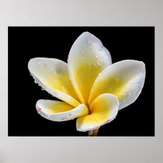 Beautiful white-yellow Plumeria flower Poster
