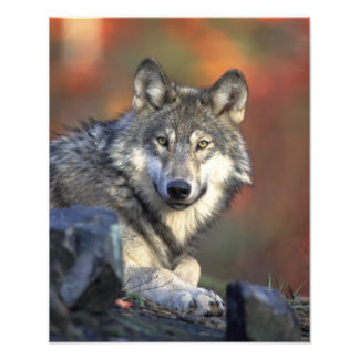 Beautiful Wolf Photo Print