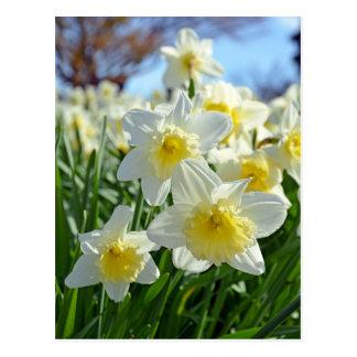Beautiful yellow and white daffodils garden postcard