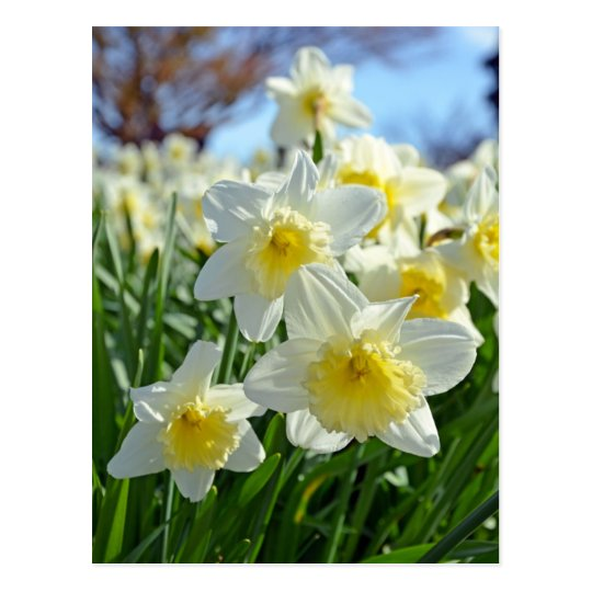 Beautiful yellow and white daffodils garden postcard