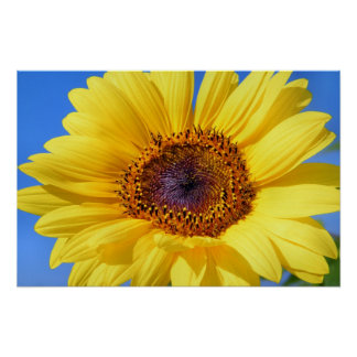 Beautiful yellow sunflower poster