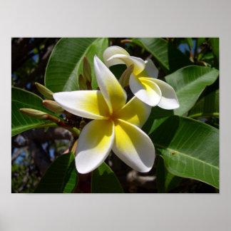 Beautiful yellow-white Plumeria flower Poster