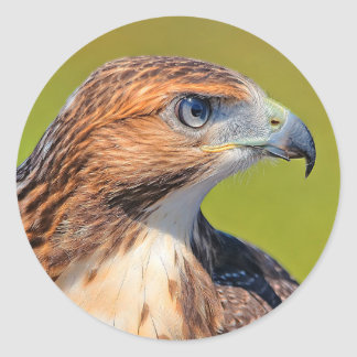Beautiful Young Red-Tailed Hawk Classic Round Sticker