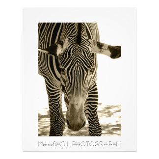 Beautiful Zebra Poster/Print! Photo Art