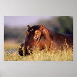 Beauty Hippopotamus Portrait Posters