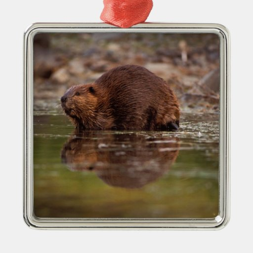 beaver, Castor canadensis, goes for a swim in Christmas Tree Ornament