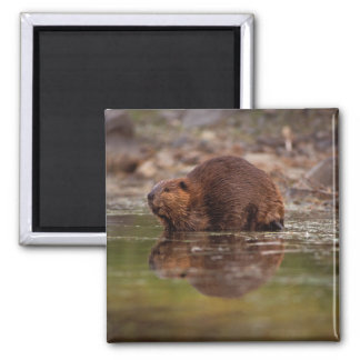 beaver, Castor canadensis, goes for a swim in Magnet