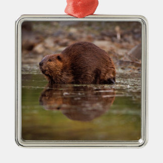 beaver, Castor canadensis, goes for a swim in Silver-Colored Square Decoration