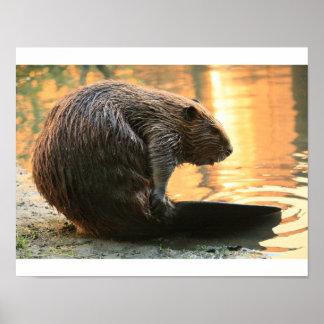 Beaver Sunset Poster