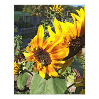 Bee a Sunflower Photo