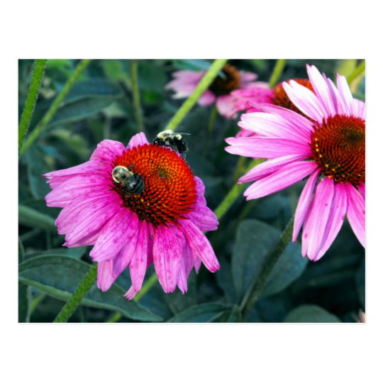 Bee and Coneflower Postcard