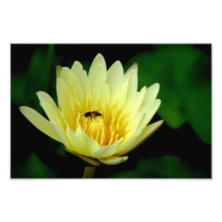 Bee and Lotus Blossom Photographic Print