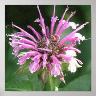 Bee Balm Flower Blossom Print