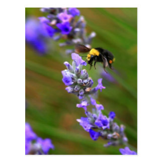 Bee in Lavender Postcard