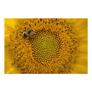 Bee in sunflower photo print