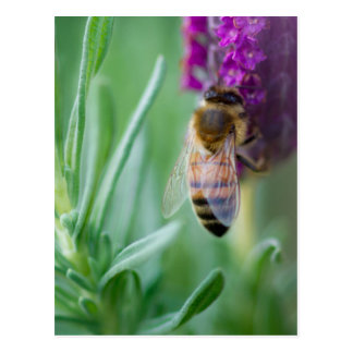 Bee in the Lavender Postcard