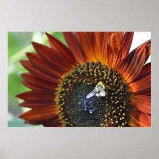 Bee on a Burnt Orange Sunflower 2 - Wings Spread Poster