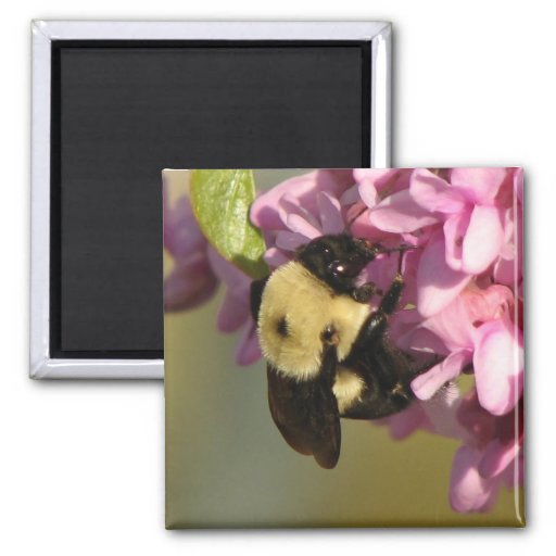 Bee on a Redbud Refrigerator Magnet