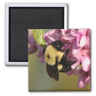 Bee on a Redbud Square Magnet