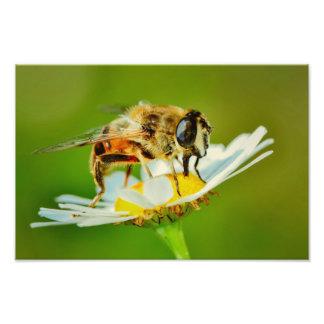Bee on a white flower macro photo print