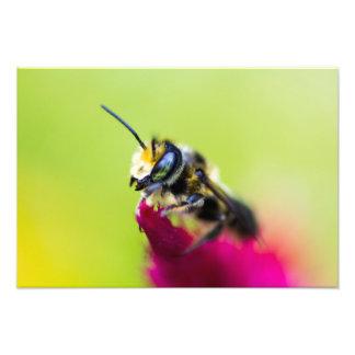 Bee on celosia flower photo