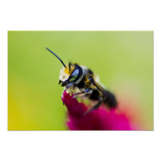 Bee on celosia flower poster
