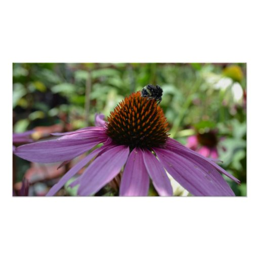 Bee on Echinacea Flower Poster