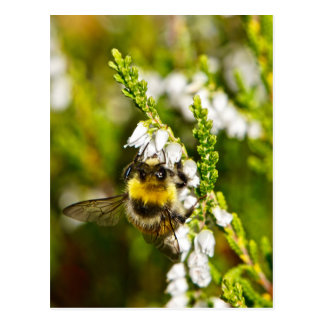 Bee on Lucky White Heather Postcard