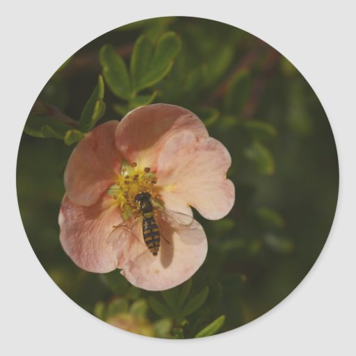 Bee on Potentilla Stickers