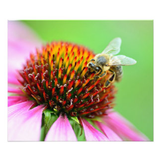 Bee on purple flower photo print