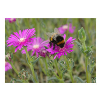 Bee On Trailing Iceplant Photo Art