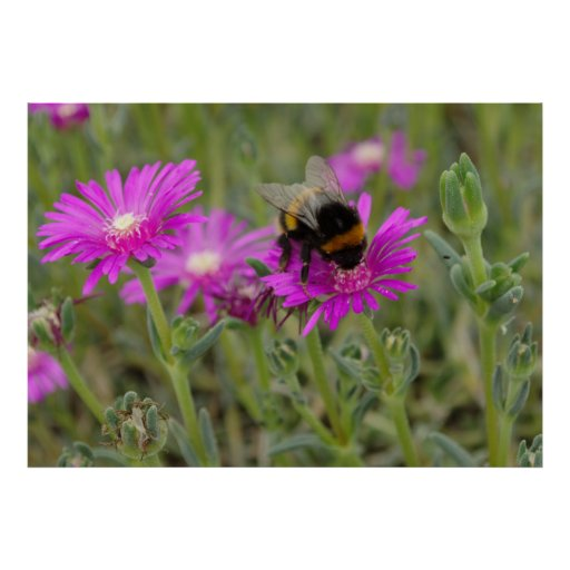 Bee On Trailing Iceplant Poster