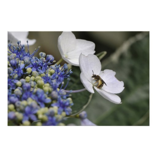 Bee with pollen in a white flower posters