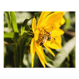 Bees Collecting Pollen Photographic Print