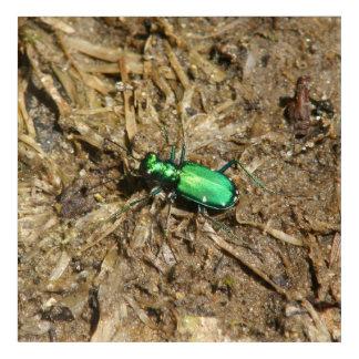 Beetle, Acrylic Print. Acrylic Print