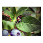 Beetle on blueberry bush post cards